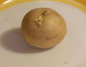 Un tubero di Solanum tuberosum (patata) con un inizio di germoglio.