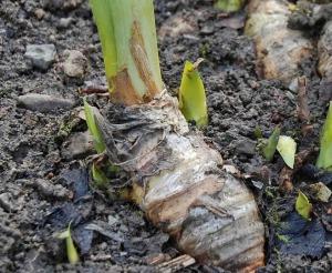 Rizoma di Iris barbata (giaggiolo).