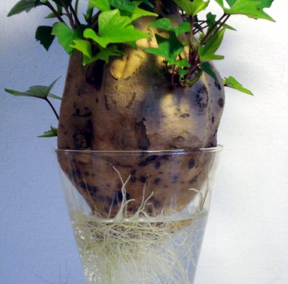 Patata Dolce In Coltura Idroponica.