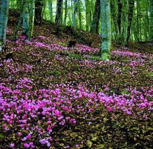 Un manto di Cyclamen europaeum in un bosco.