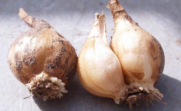 Bulbose, rizomatose, tuberose e simili