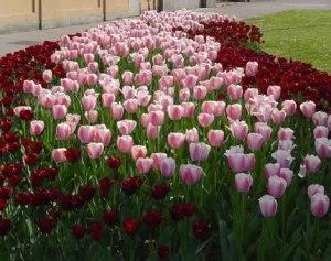 Un'aiuola di tulipani.