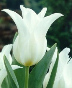 Ballade white, un tulipano fior di giglio.