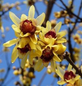 Fiori di Chimonanthus praecox.