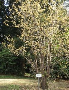Arbusto di Chimonanthus praecox in un giardino giapponese.
