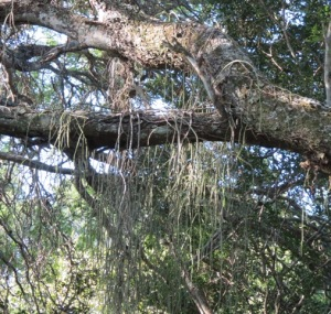 Esemplari di Schlumbergera pendenti da un ramo nella foresta brasiliana.