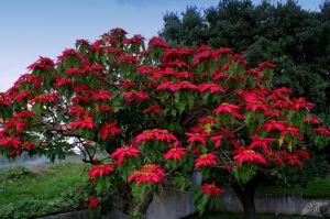 Arbusto di Euphorbia pulcherrima.
