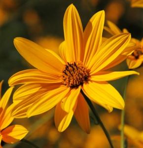 Fiore di topinambur.