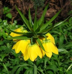 Fritillaria imperialis lutea.