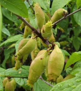 Frutti di Chimonanthus praecox.