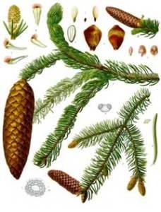 Tavola botanica di Picea abies.