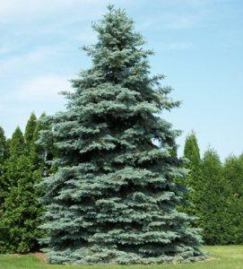 Picea glauca.