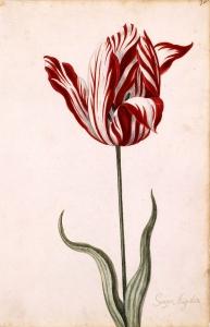 Il Semper Augustus, uno dei protagonisti della febbre dei tulipani.
