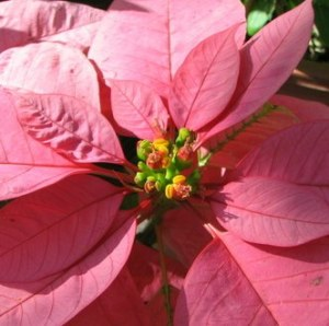 Varietà rosa di Euphorbia pulcherrima.