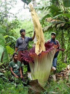 Un esemplare di Amorphophallus titanum a Sumatra.