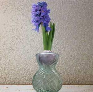 Un giacinto in vaso idroponico.