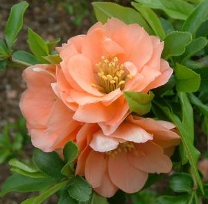 Una varietà di Chaenomeles a fiore doppio.