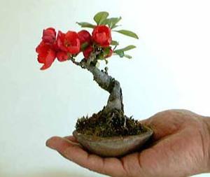 Un piccolo bonsai di Chaenomeles japonica.