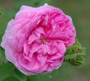 """La Rosa gallica """"Chapeau de Napoleon""""."""