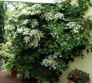 """Hydrangea anomala """"Petiolaris"""" in fioritura."""