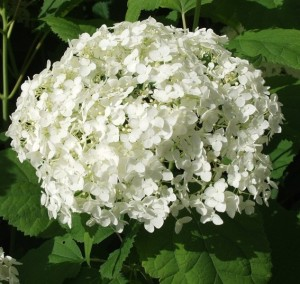 "Infiorescenza Hydrangea arborescens ""Annabelle""."