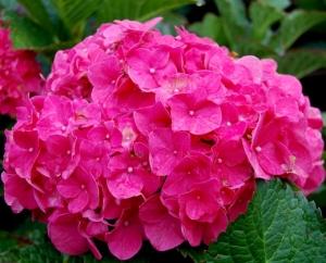 "Infiorescenza di Hydrangea macrophylla ""Forever Pink"""