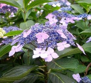 """Infiorescenza di Hydrangea serrata """"blue bird""""."""