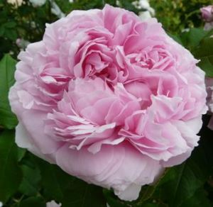 La Rosa damascena Kazanlik.