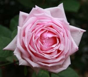 """La rosa HT """"La France""""."""