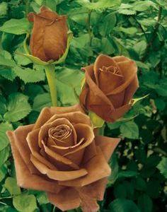 """La rosa HT """"Terra Nostra""""."""