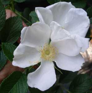 Fiori di Rosa abyssinica.