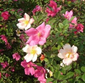 "Fiori di Rosa chinensis ""Mutabilis""."
