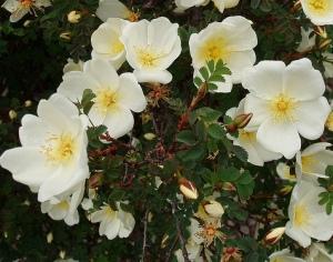 "La rosa ibrida di spinosissima ""Dunwich Rose""."
