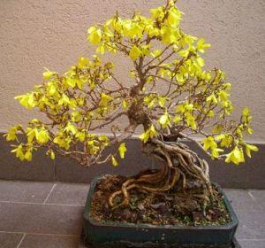Un bonsai di Forsythia spp.
