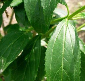 Le foglie della Forsythia spp.