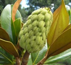 """Foglie e frutto immaturo di Magnolia grandiflora """"Gallisoniensis""""."""