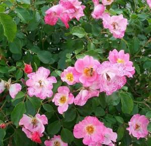 Fiori di Rosa canina.