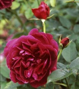 La rosa Monferrato.