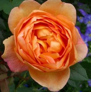 La rosa Lady of Shalott.