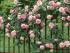 Rosaio-rampicante-pierre-de-Ronsard