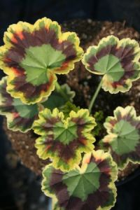 "Pelargonium ""Mrs. Pollock""."