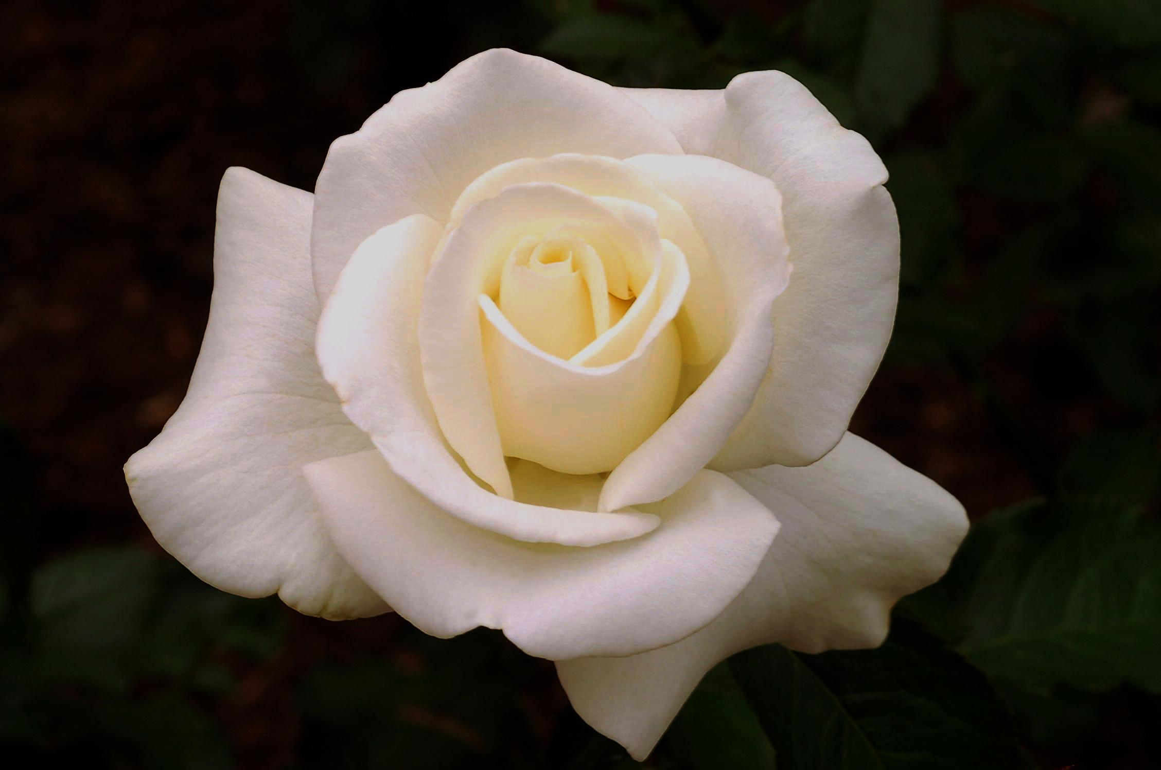 Rose Da Taglio Rifiorenti la potatura delle rose – la critica