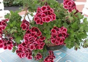 Pelargonium X domestica.