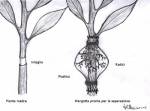 Il metodo della margotta.