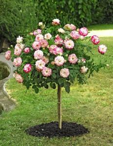 Una rosa coltivata ad alberello.