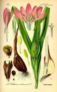 Tavola botanica di Colchicum autumnale.