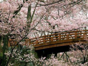 fiori-ciliegio_NG3