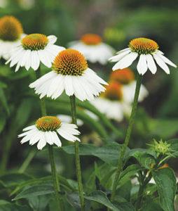 Cultivar a fiore bianco di Echinacea spp.