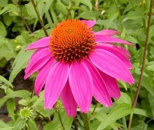 Fiore di Echinacea purpurea.