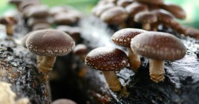 I funghi Shiitake: fonte di benefici e benessere